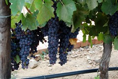 Ripe Shiraz Grapes (RobW_) Tags: southafrica vineyard 2006 grapes shiraz uitzicht february 1798 westerncape breederiver feb2006 15feb2006 fraaiuitsig fraai fraaiuitzicht1798