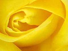 Yellow Rose (processed) - coproduction (maesk) Tags: postprocessed flower macro rose yellow photoshop coproduction bluespeedy