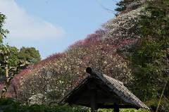 060225 025 (Phreddie) Tags: japan tokyo spring plumtree ikagemi