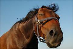 Der Angriff der Killerbiene (BlueBreeze) Tags: horse bluesky zensur domino pferd nocensorship keine himmelblau killerbee killerbiene thebiggestgroup keinezensur