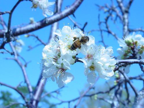 Honey Bee and cherry blossom