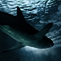 Tiburn (dgr) Tags: madrid blue espaa water azul square zoo aquarium shark spain agua europa europe 100v10f bleu aquario cuadrado zoodemadrid dgr zoomadrid toburon