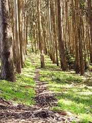 the path - lover's lane (goodsista) Tags: sf sanfrancisco green vertical outdoors solitude path stripes trails calm eucalyptus paths lush stories presidio throughthetrees tranquil shhh sunbeams loverslane faved outdoorscenes freshgrass ifatreefellintheforest woulditmakeasound
