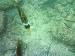 SUNP0038.JPG (neil banas) Tags: animals raccoon butterflyfish