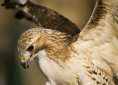 Spread your wings (IrenaS) Tags: canada bird 20d nature animal canon wow ilovenature wings hawk redtailedhawk specnature