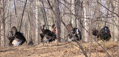 Wild Turkeys - image by Anita Gould. Click for a better view.