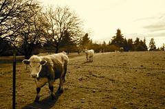 (jodi_tripp) Tags: tag3 taggedout vancouver cow tag2 tag1 wa allrightsreserved saywa joditripp challengeyouwinner wwwjoditrippcom photographybyjodtripp joditrippcom