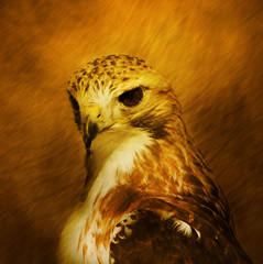 Portrait of the hawk as a young bird (IrenaS) Tags: portrait painterly 20d nature birds animals closeup photoshop canon wow bravo hawk lovely abigfave