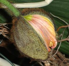 Knospe - Bud (Gertrud K.) Tags: flowers orange taggedout wonder papaver papaveraceae