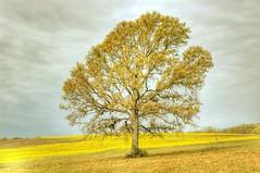 Tree in a Yellow Field (Jeff Clow) Tags: topf25 bravo texas nikond70 explore blended oneyear weeklysurvivor hdr gettyimages 3xp photomatix jeffclow copyrightedbyjeffrclowallrightsreservednounauthorizedusageallowed