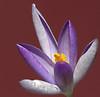 Macrocus (Mat.) Tags: cold flower macro yellow canon spring purple deleteme10 crocus stamens stamen lookatme pollen 60mm delicate efs 1on1 notpicked 85points lens00025