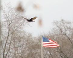 Turkey Vulture (ddurbin123) Tags: bird nature illinois flag wildlife americanflag vulture oldglory turkeyvulture lemont