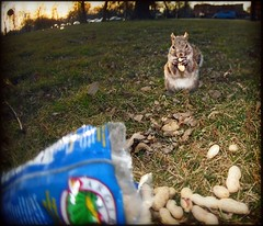 LittleNibbler (candersonclick) Tags: sunset chicago nature closeup nikon squirrels flash peanuts fisheye humboldtpark bushy almostspring nutlovers