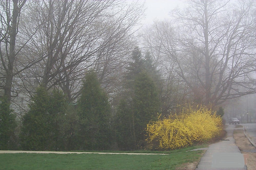 forsythia in the fog