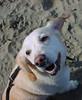 Joe at the beach (nhanusek) Tags: sanfrancisco dog cute beach yellow joe bayarea doggy pooch crissyfield cmc nicolehanusek labbeaglemix nhanusek beaglemix commentonmycuteness