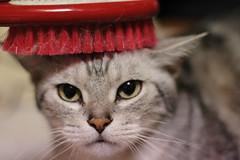 katinas sepetys