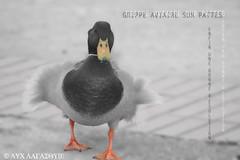 Grippe aviaire sur pattes (Luc Lagasquie) Tags: photoshop canon macintosh eos 350d topv1111 adobe cs grippe aviaire canaard luclagasquie