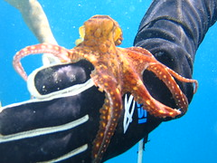 john with another octopus (bluewavechris) Tags: hawaii diving sealife snorkeling octopus seacreatures marinelife underwaterphotos reeflife oceananimals