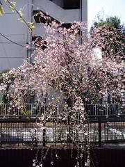 #1937 Yazawagawa (谷沢川) (Nemo's great uncle) Tags: cherry geotagged tokyo spring untagged blossom 桜 cherryblossom sakura 東京 setagaya prunus unprocessed unlabeled 春 サクラ 世田谷区 setagayaku yōga tōkyō geo:lat=35626675 用賀一丁目 geo:lon=139633591