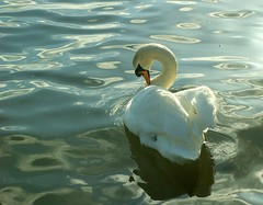 Broughty Ferry Swan. (stonefaction) Tags: nature birds ferry reflections scotland swan dundee wildlife tay broughty mute faved personalfave featheryfriday explored highestpositionnumber1dateunknown