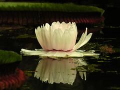 (zenog) Tags: pink flower ~~ rosa jardimbotanico vitoriaregia rosé waterlilly