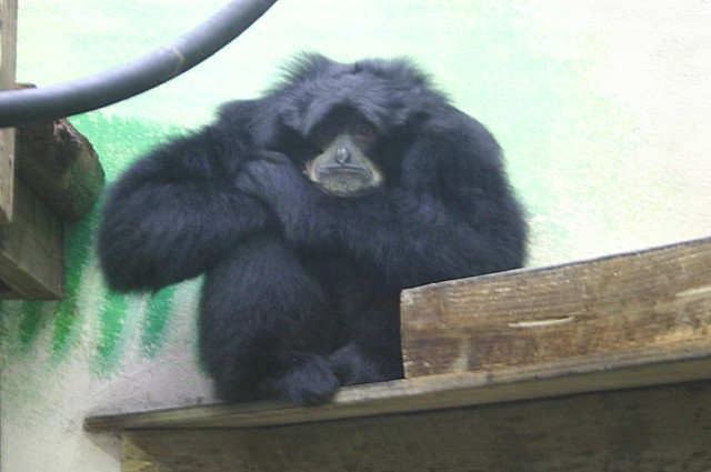 Sage the Siamang Gibbon