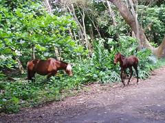 Wild Horses (samh101) Tags: horse hawaii waipio