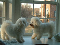 Cameron & Bryce Bichon Frise (garyhymes) Tags: shadow dog pet pets white house cute brick dogs window wonderful fun happy mirror jump jumping eyes play buddies tail fluffy cutie wag bichonfrise cuteness playful bichons baywindow