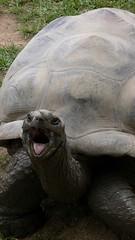 Shouty tortoise, Australian Zoo, Australia.jpg - by gruntzooki