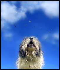 Up in the sky (Edgar Thissen) Tags: blue sky dog dogs animal clouds gull gulls top20dogpix top20dogpixhalloffame bully pgphotography mioritic edgarthissen abigfave