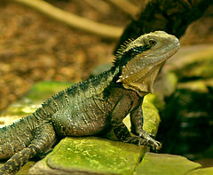 greenish (bea2108) Tags: animal animals zoo lizard waran
