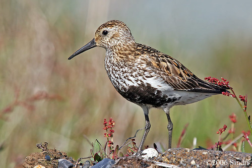 dunlin on Flickr