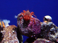 Red Crab (lmundy2002) Tags: montereybayaquarium monterey aquarium monteryaquarium fish turtle seaturtle jellyfish coral eel crab tropical anemone seaanemone