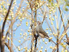 161211_GX7_1460046 (kuad9) Tags: bird