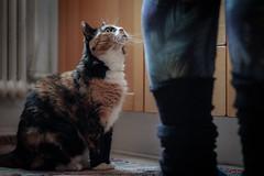 Mata mig (MagnusBengtsson) Tags: doris husdjur katt stehag väntar fs161211 vantan fotosondag