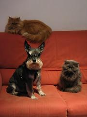 The Royal Family (kenyai) Tags: family dog cats dogs corinne topv111 cane cat persian interestingness top20animalpix kitten kitty schnauzer gatto gatti persiano cani catsanddogs catanddog picoftheday tobia interestingness3 friderika i500