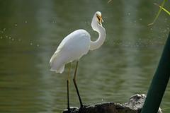 Kraaaa... freshnesssss! great egret *ardea alba* from Bali ♫♫ (bocavermelha-l.b.) Tags: d70s aves garça greategret ardeaalba egrettaalba 80200mmf28d casmerodiusalbus 白鹭 ornitologia tc14e inbali ardeaalbaegretta kuntulputihbesar garçabrancagrande foundinnusadua most–difficult–captures i–love–nature south–china–sea inindonesia tôôt ダイサギ эгрет белаяцапля wildlifebali