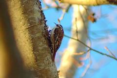 brown_creeper_6186 (doviende) Tags: bird winter delta bc canada reifelwildfowlrefuge browncreeper creeper certhiaamericana lifelist