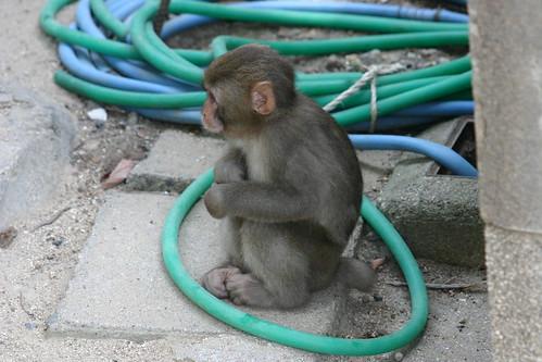 Naughty Monkey by tompagenet.