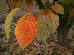 Fall leaves (uzi yachin) Tags: 2003 autumn fall leaves israel leaf autmn diospyroskaki