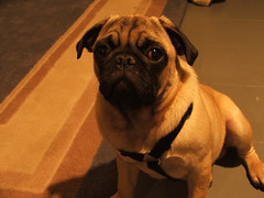 George Michael the Narcoleptic Pug (antsville) Tags: george michael narcoleptic pug