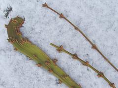 Fasciatie of bandvorming bij Forsithia 2 (capreolus) Tags: plants forsythia monstrosity