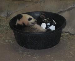Panda in a Bucket - by Happy Monkey
