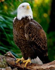 Bald Eagle (hodad66) Tags: baldeagle bird animal florida xt