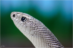 florida pine snake (Bravo_Kilo) Tags: interestingness snakes reptiles centralfloridazoo sigma105mmf28ex floridapinesnake