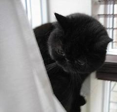 like velvet tinna is... (arny johanns) Tags: pet cats pets white black cute beauti