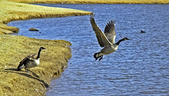 Takeoff (Jeff Clow) Tags: nikond70 ilovenature geese 110fav topc25 topv111