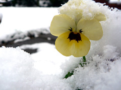 Snow Viola (Lazy B) Tags: christmas snow flower yellow mrjackfrost 1025fav garden interesting topv333 seasons 100v10f fv5 fz5 viola flowersincontainers