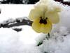 Snow Viola (Lazy B) Tags: christmas snow flower yellow mrjackfrost 1025fav garden interesting topv333 seasons 100v10f fv5 fz5 viola flowersincontainers