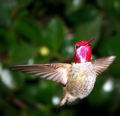 Annas Hummingbird/ Calypte annas (camden hackworth) Tags: pink red bird nature birds canon eos rebel xt top20np hummingbird bokeh birding top20hallfame annashummingbird calypteanna wildlifenorthamerica gorget canonrebeleosxt calypteannas animalkingdomelite aksubjectmatterflight bestnaturetnc07